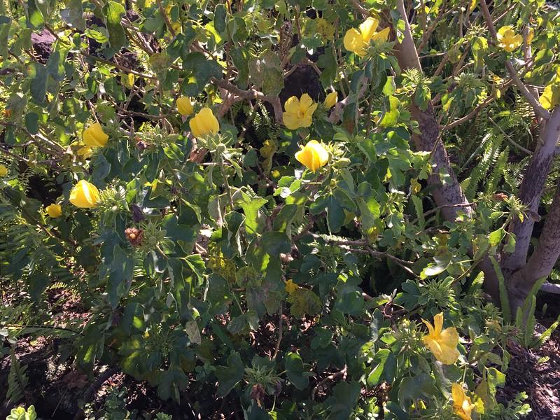 Mao hao hele (Hibiscus brackenridgei) - the state flower (photo by Shannon Paapanen)