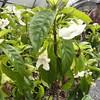 Cyrtandra filipes