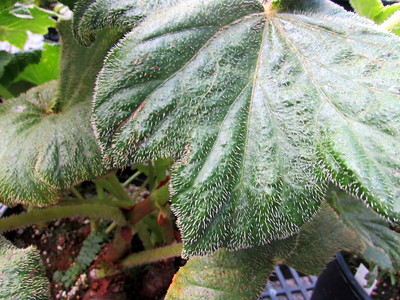 Close-up of the begonia's leaves.