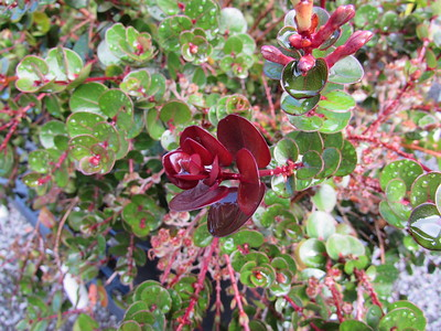 Amazing red liko on an  ohia - oddly enough, the flowers are yellow.