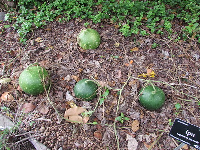 There was a nice crop of traditional Hawaiian ipu outside the garden office.