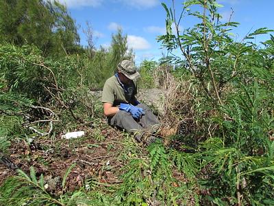 Working on the clump of haole koa