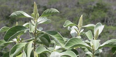 Acyranthes splendens - The Hawaiian name's lost.