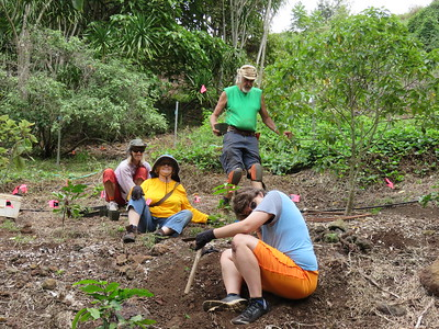 Planting kukae nene (Coprosma ernodeoides). (Photo by Martha Vockrodt-Moran)