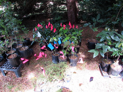 Today's plants are marked with flags. Pink & black: Kūkaenēnē (Coprosma ernodeoides). Blue: Maua (Xylosma hawaiiense),  pink: Nā'ū or Nānū (Gardenia brighamii) (Photo by Irene Newhouse)