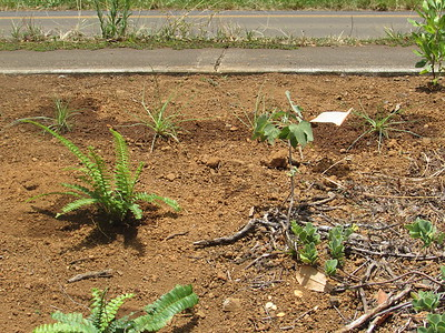 By the flag, a recently planted mao (Gossypium tomentosum). To its left, one of today's kupukupu (Nephrolepis cordifolia), and in back, some of the mauʻu ʻakiʻaki (Fimbristylis cymosa) Becky started. Most of it went into areas near sidewalks, as it doesn't get tall and hang over onto the paved areas, while the kupukupu went into open areas further from pavement.