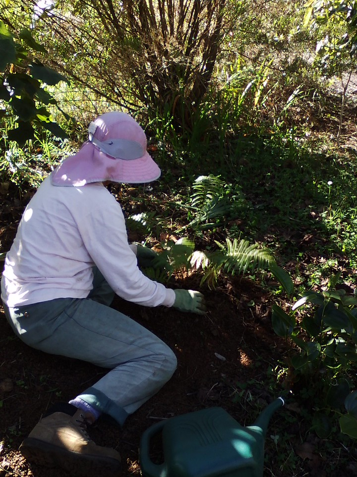 Planting 'ama'u fern.
