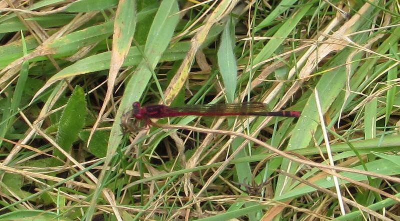 A damsel fly