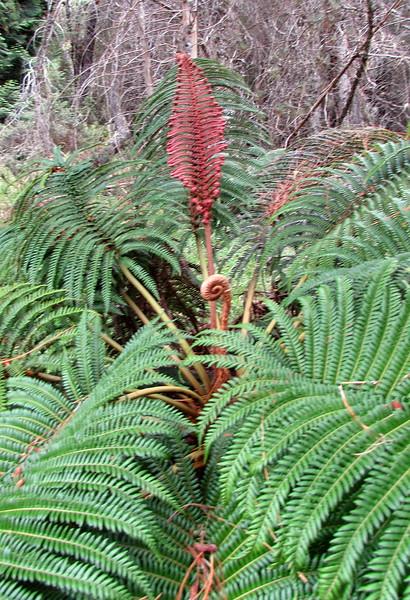 'Ama'u fern (Sadleria cyatheoides), one of the iconic plants of the wetter slopes of Haleakala.