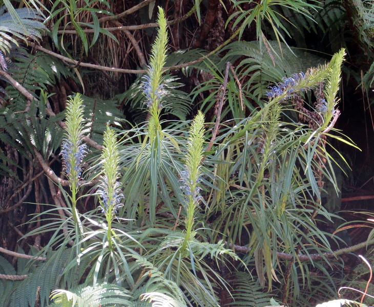 More Lobelia grayana