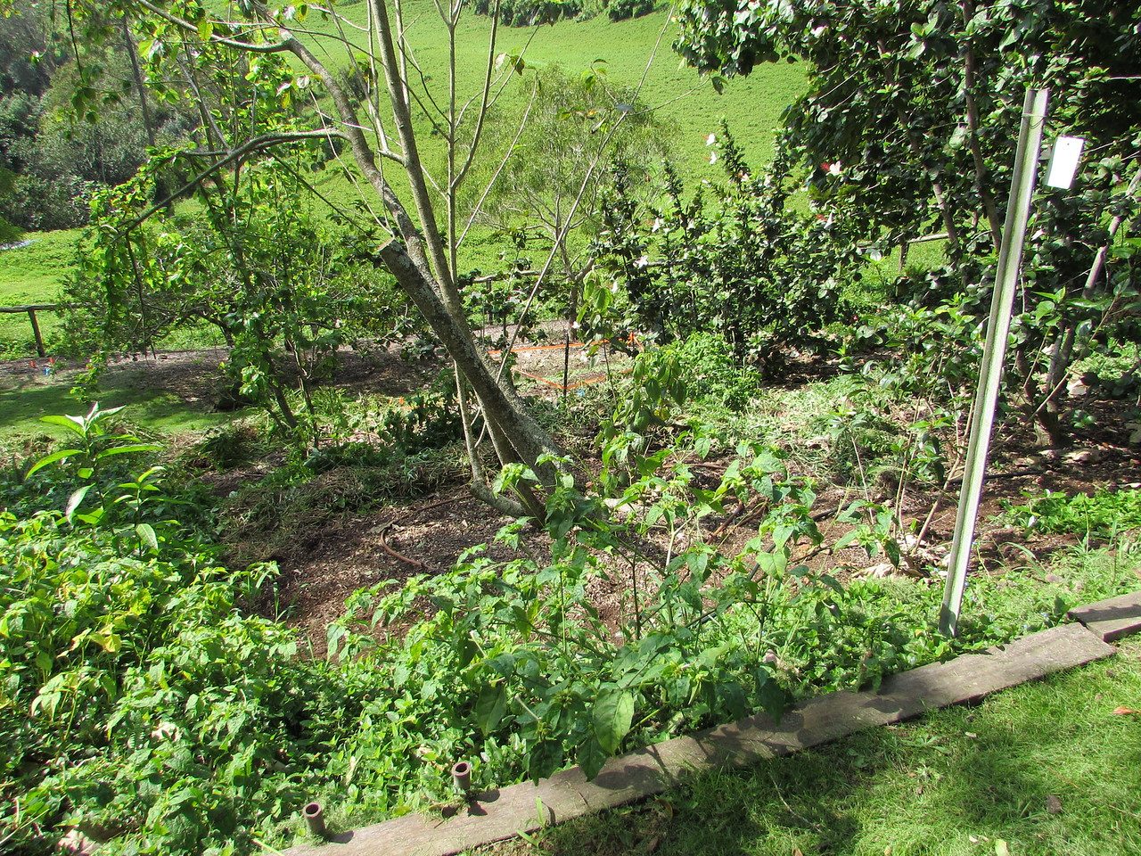 View of the block weeded by members  all the weeds inside a circle the size of the tree's dripline are removed, and placed  along the circle's downhill side, to slow down erosion. The clear area is fertilized with pelleted chicken manure to compensate for the nitrogen that will be removed by the subsequent layer of mulch. Weeds outside the dripline remain, to slow erosion, until they're replaced by native understory plants.