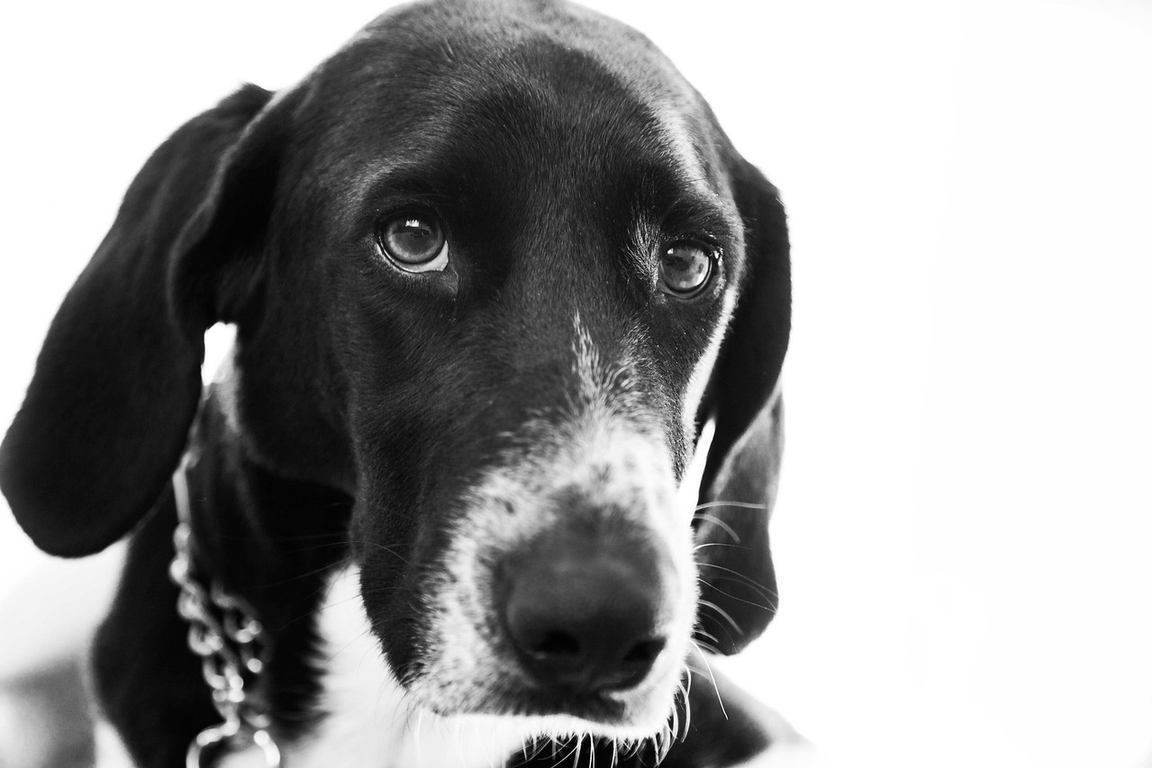 Buddy.  Lab-Coonhound.  Formerly West Suburban Humane Society.  Now training to be a therapy dog.