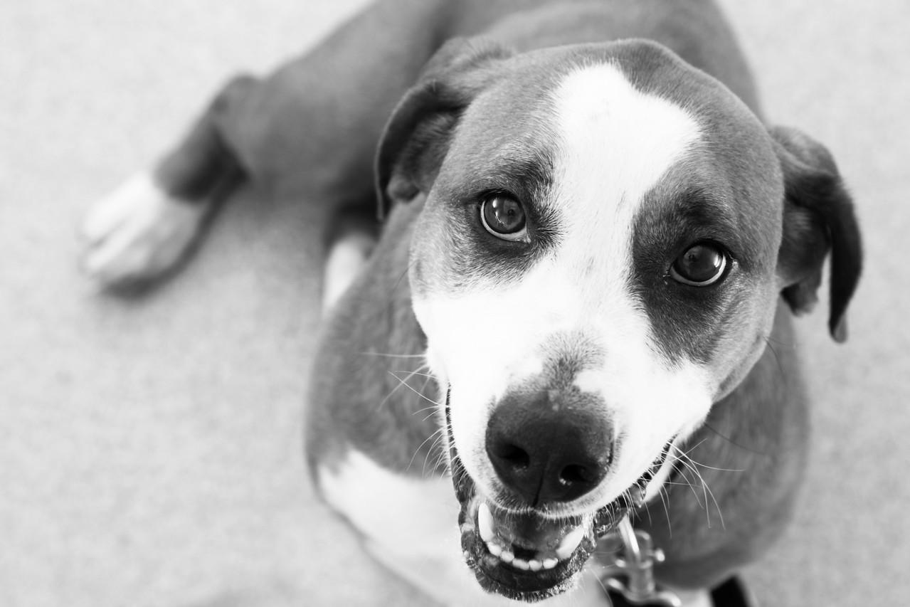 "Dellio.  Bull Dog - Basset Hound.  A.D.O.P.T. Pet Shelter  <a href=""http://www.adoptpetshelter.com"">http://www.adoptpetshelter.com</a>."