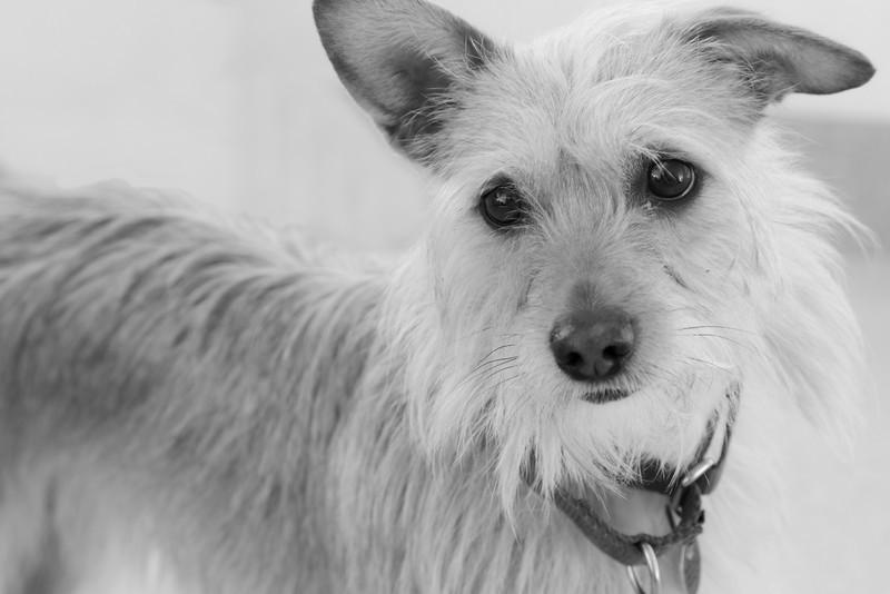 """Ella.  Terrier.  A.D.O.P.T. Pet Shelter  <a href=""""http://www.adoptpetshelter.com"""">http://www.adoptpetshelter.com</a>."""
