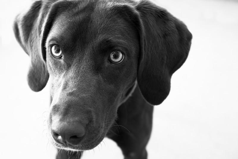 """Mackenzie.  Labrador Retriever.  A.D.O.P.T. Pet Shelter  <a href=""""http://www.adoptpetshelter.com"""">http://www.adoptpetshelter.com</a>."""
