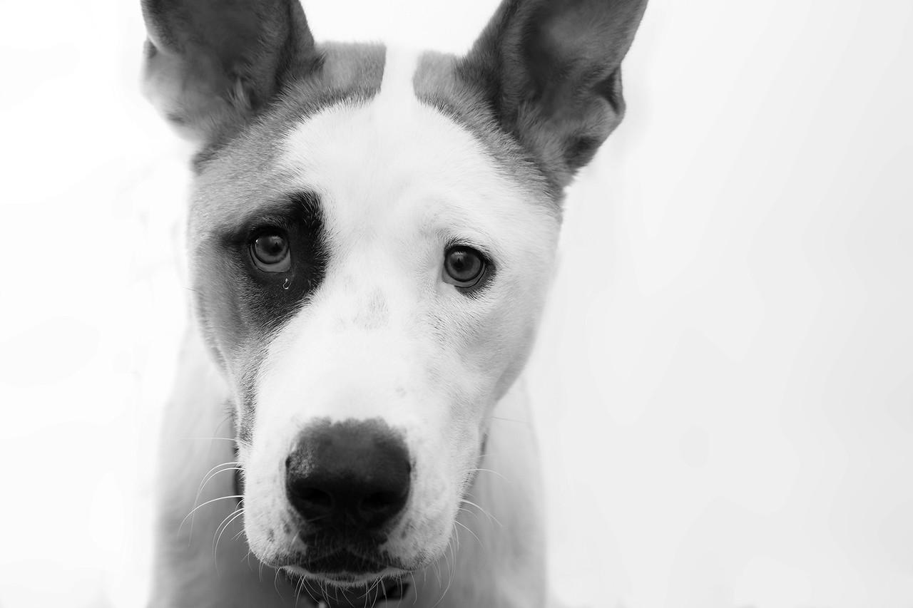 """Bentley.  Beautiful Mutt.  ADOPT Pet Shelter  <a href=""""http://www.adoptpetshelter.com"""">http://www.adoptpetshelter.com</a>"""