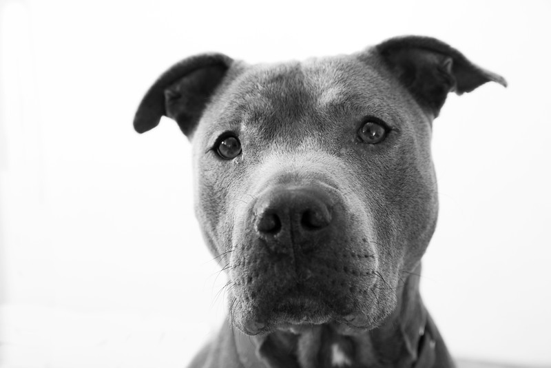 """Holly.  Pit Bull Terrier.  A.D.O.P.T. Pet Shelter  <a href=""""http://www.adoptpetshelter.com"""">http://www.adoptpetshelter.com</a>."""