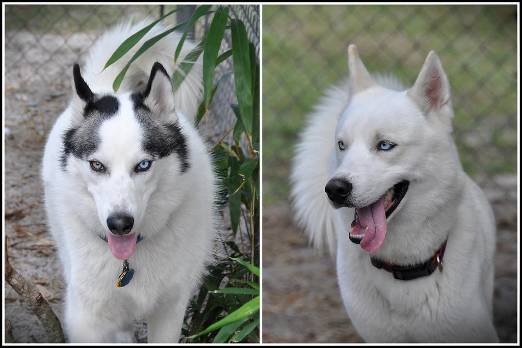 My Siberian Huskies, Trevor (Black & White) and Kashmir (All White). © Nora Kramer Photography. All rights reserved.