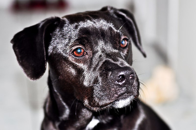 "My Patterdale Terrier, Harley Quinn (a.k.a. ""Baby Girl"") © Nora Kramer Photography. All rights reserved."