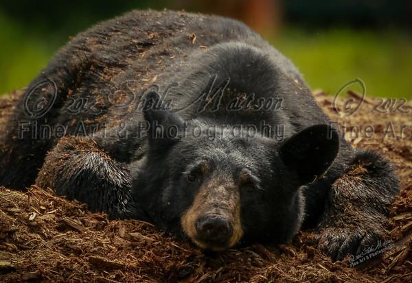 """""""Broken Heart Bear""""<br /> <br /> Nature Photography - Wildlife Photography - Stock Photography"""