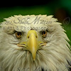"""Eagle Eyes""<br /> <br /> This eagle was busily bathing and stopped to give me a good shot before resuming its bath.<br /> <br /> Nature Photography - Wildlife Photography - Stock Photography"