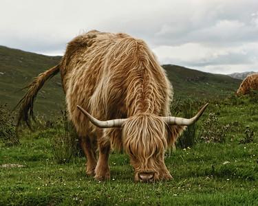 Highland Cow   3/9