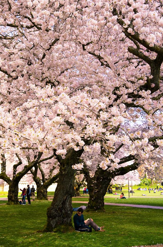 Quad Cherry Tree
