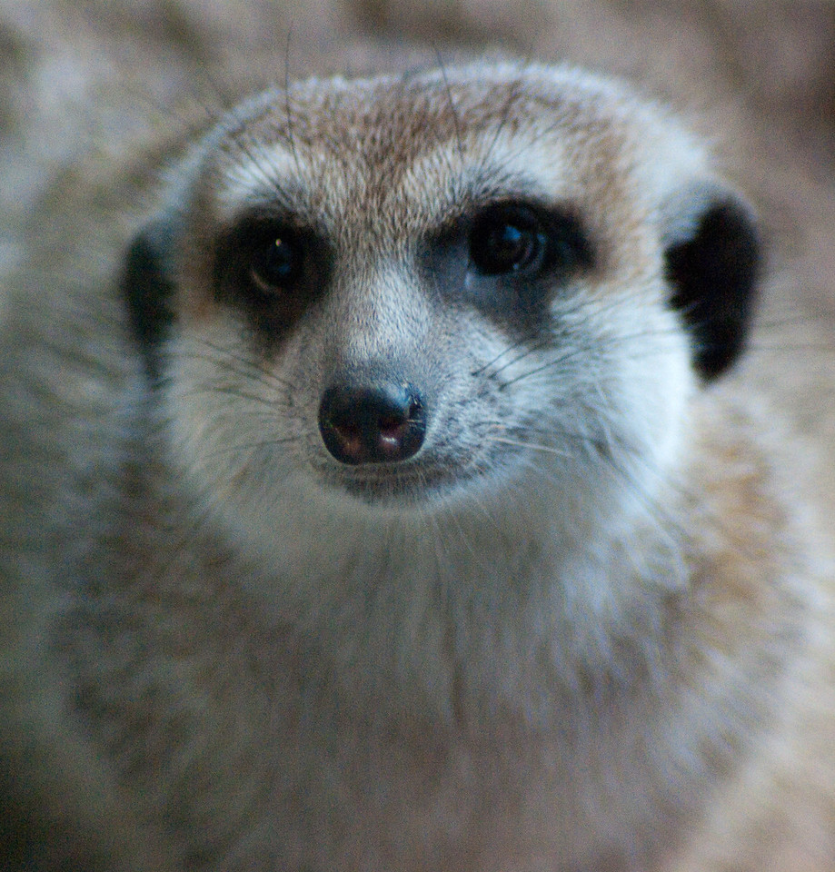 Meercat Portrait