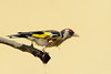 Wasp & Goldfinch