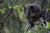 Tengmalm´s Owl