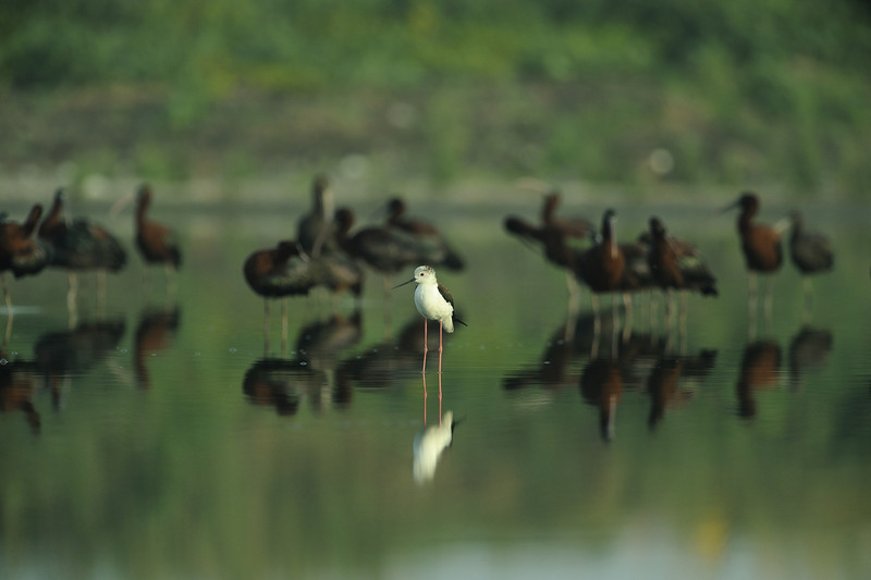 Black-winged Stilt & ibises