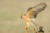 Red-footed Falcon ♀