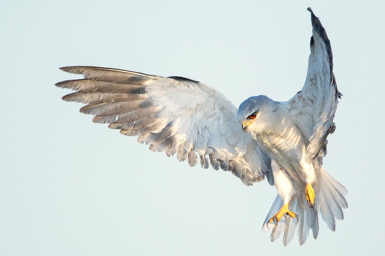 Black-winged Kite