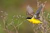 Yellow Wagtail (feldegg)
