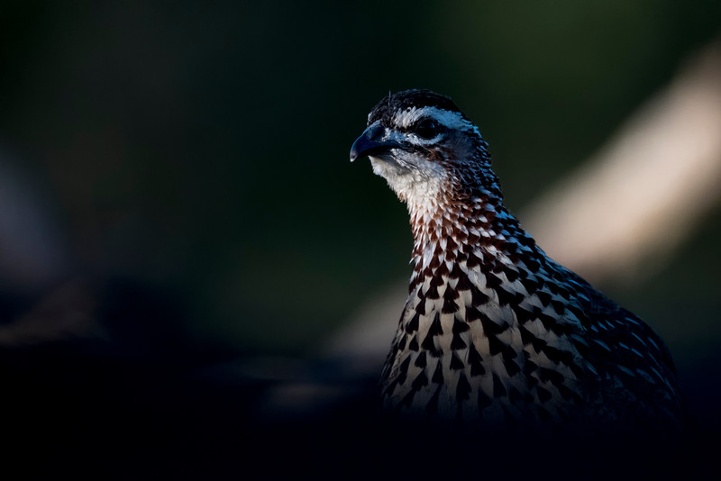 Spurfowl
