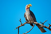 Yellw -billed Hornbill