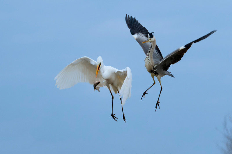 Great Egret and Grey Heron