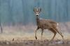 Raw Deer