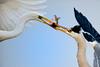 Grey Heron & Great Egret