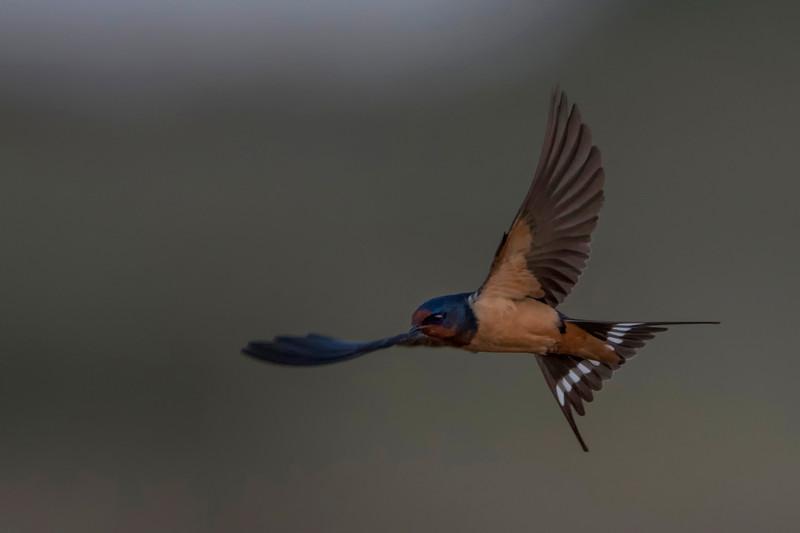 Barn Swallow(transitiva)