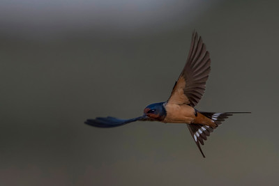 Barn Swallow(transitiva)