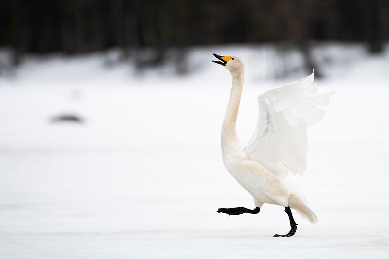 Wooper Swan