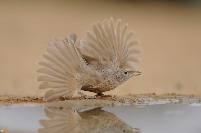 Arabian Babbler