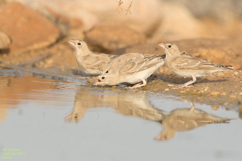 Hill Sparrow