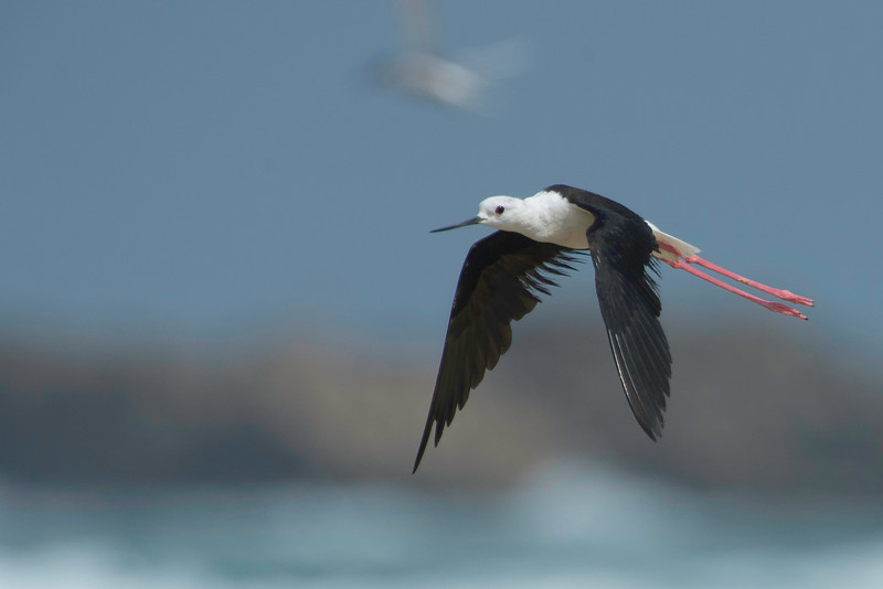 Black-einged Stilt