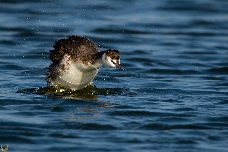 Great Crested Gerbe