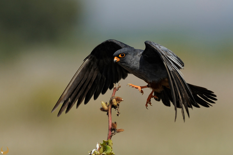 Red-footed Falcon ♂