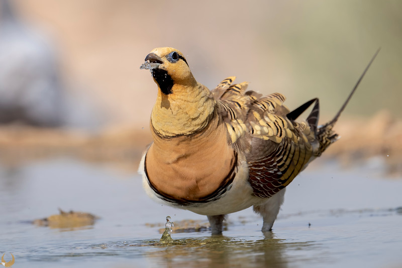 Pin-tailed Sandgrouse