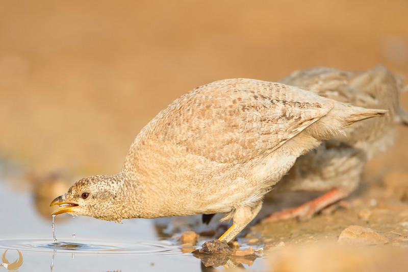sand partridge