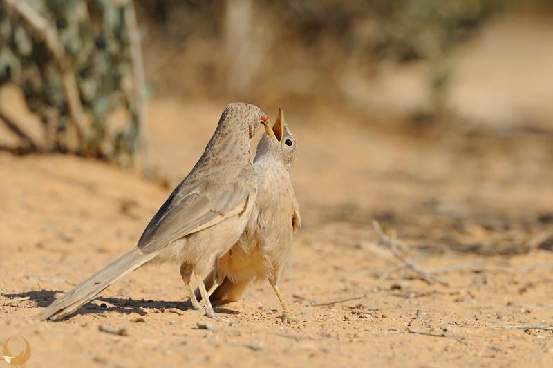 Arabian Babblers